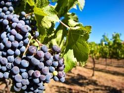 В Крыму станет в три раза больше винограда . - «Центральный Крым»